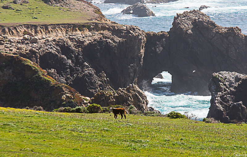 Cow at Big Sur
