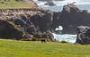 Cow at Big Sur