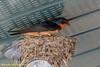 Horican Marsh WR - Barn Swallow