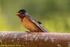 Devil's Lake SP - Barn Swallow