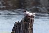 Seney National WR - Common Tern