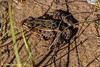 Tawas Point SP - Northern Leopard Frog