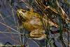 Crex Meadows WA - Bullfrog