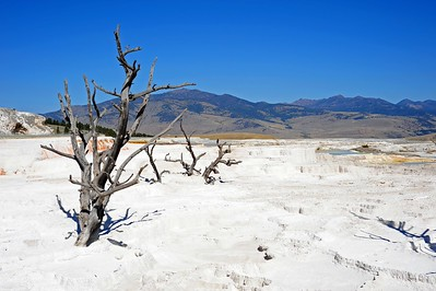Dead tree near mammoth hot springs - Yellowstone National Park