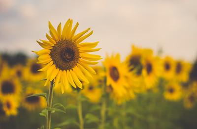 Jarrettsville Pike Sunflower Fields