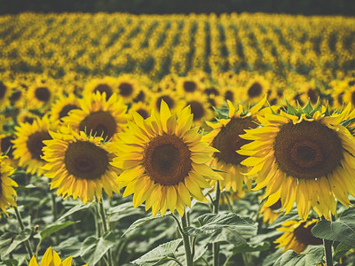 Jarrettsville Pike Sunflower Fields