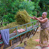 Threshing and loading the harvested rice.