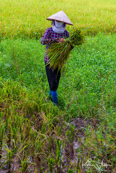 En route to the Hanoi Airport for our flight to Hue, we stopped to say hello to several farmers harvesting rice by hand.