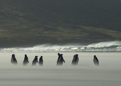 Magellanic Penguins on a windy bach