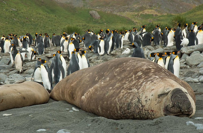 Elephant Seal: South Georgia