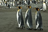 King Penguins: South Georgia