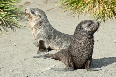 Juvenile Southern Fur Seals