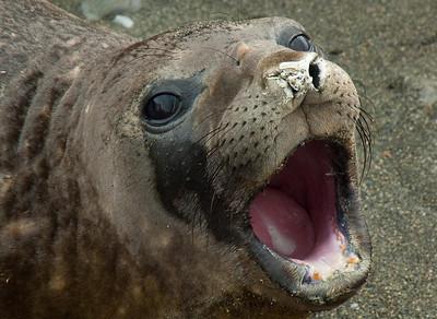 Shingle Cove. South Orkney: Elephant Seal