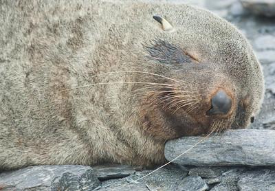 Shingle Cove. South Orkney. Juvenile Southern Fur Seal.