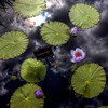 Water Lilies and Clouds