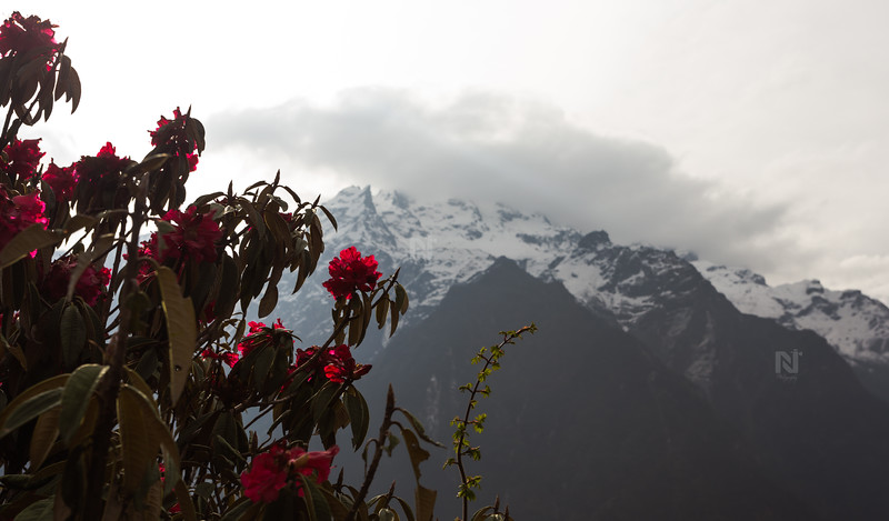 Beautiful flowers at Yumthang valley, India