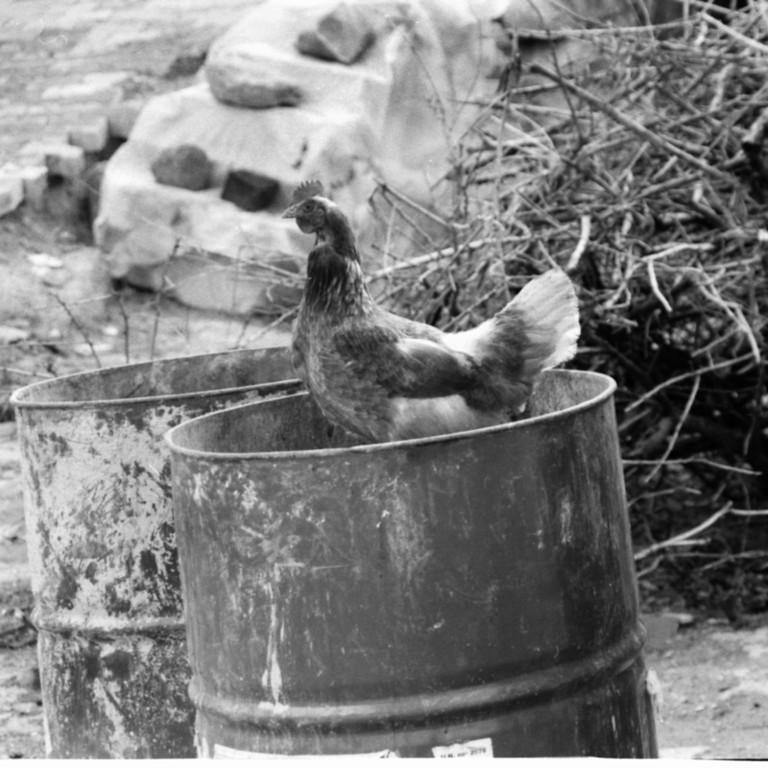 Chicken in a Barrel Drum - Turkey, Istanbul