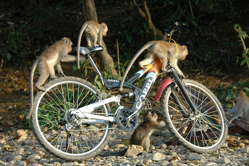 Monkeys on a Bike - Khao Sok, Thailand