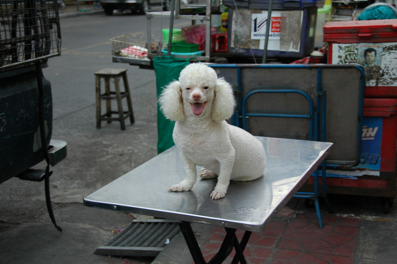 Poodl on the Table - Bangkok, Thailand