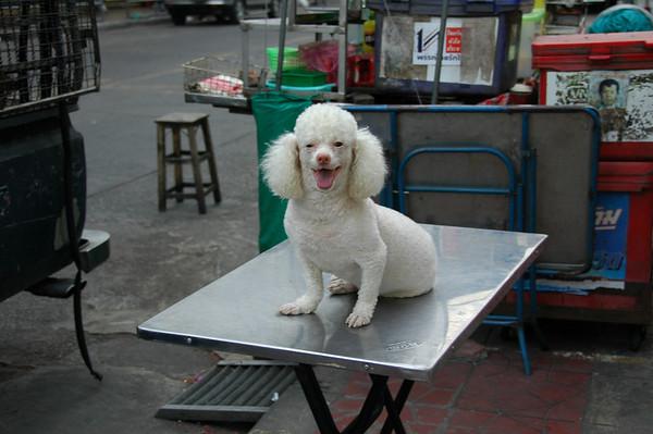 Poodl on the Table - Bangkok, Thailand