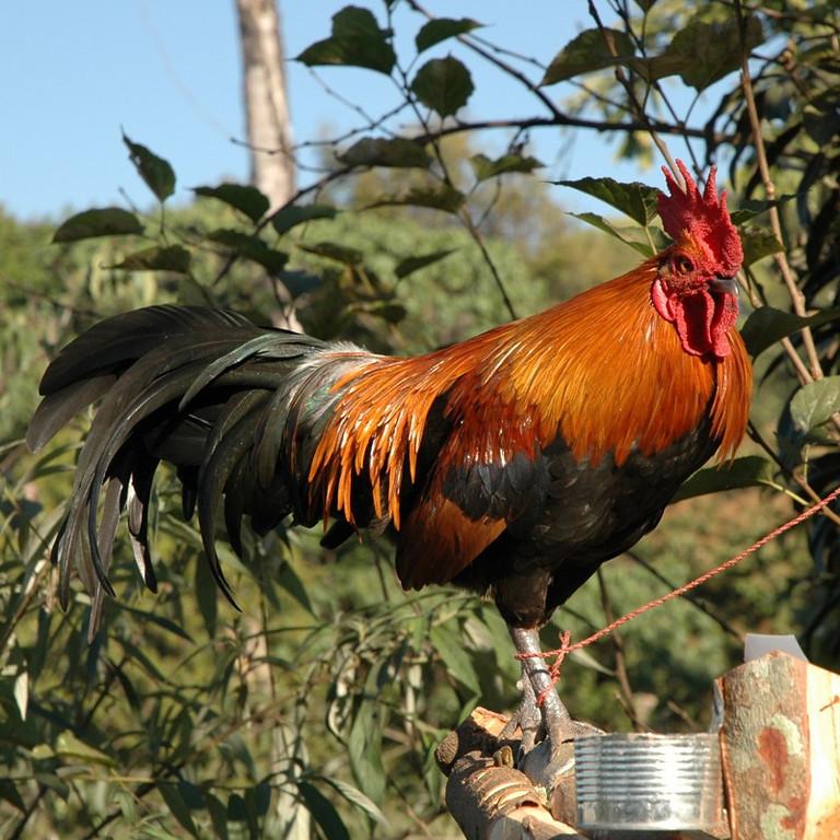 Rooster - Koh Pha Ngan, Thailand