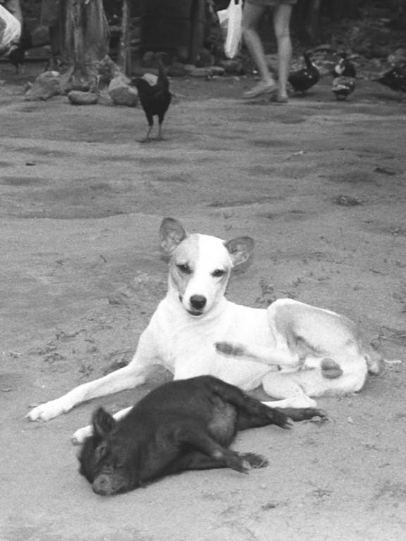 Dog and Pig - Baracoa, Cuba
