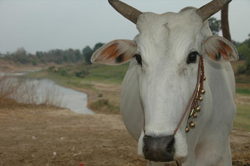 Cow on a River - Battambang, Cambodia