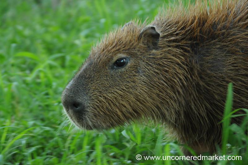 A Capybara in Action - Concepcion, Paraguay
