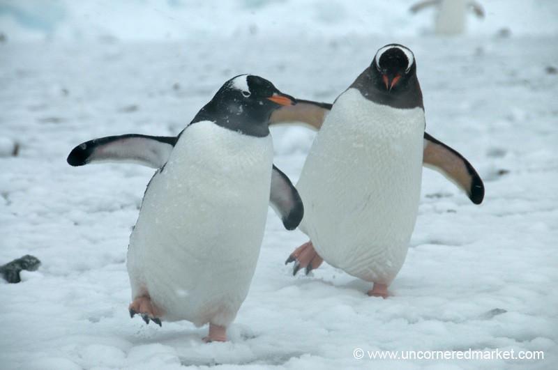 Gentoo Penguin Dance - Danco Island, Antarctica