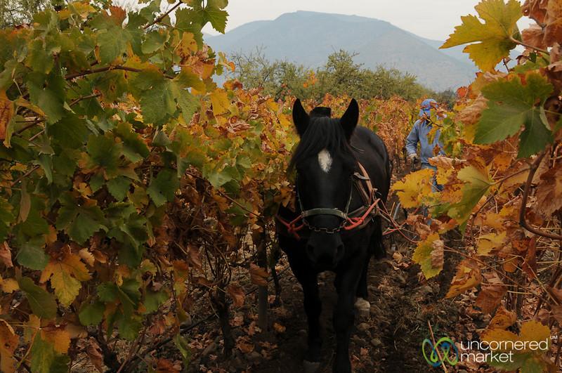 Plowing the Biodynamic Vineyard - Antiyal Winery, Chile