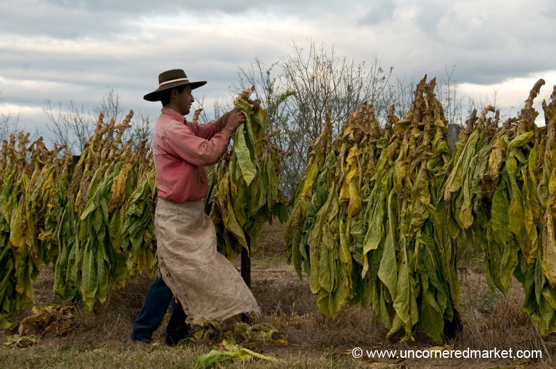 Hanging Tobacco Outside Salta, Argentina