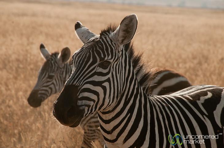 Zebra Heads - Ngorongoro Crater, Tanzania