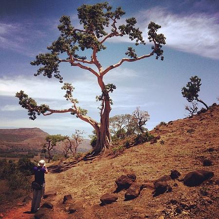 Treespotting en route to Blue Nile Falls. Red soil, blue sky, this is Ethiopia. via Instagram http://ift.tt/1ra5Tap