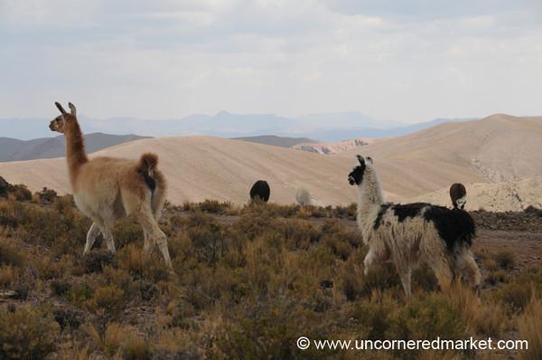 Llamas on the March - Salar Tour, Bolivia
