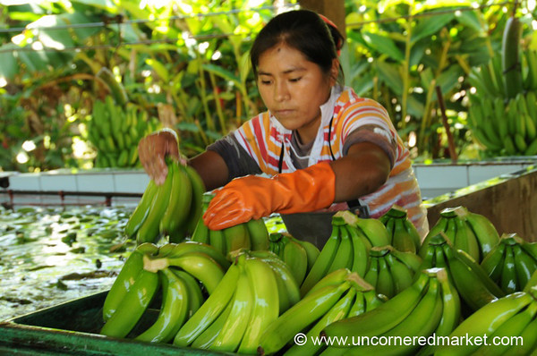 Stacking Bananas - Chapare, Bolivia