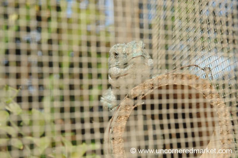 Old Iguana - Utila, Honduras