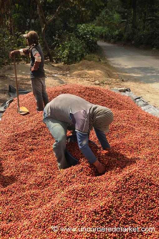 Men Packing Coffee Berries - Lake Atitlan, Guatemala
