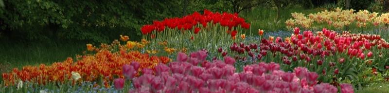Field of Tulips - Pruhonice, Czech Republic