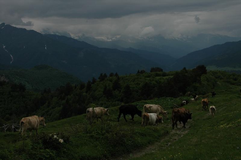 Grazing Cows on the Mountain - Svaneti, Georgia