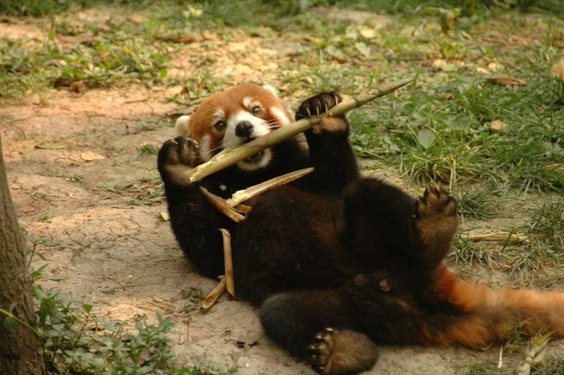 Red Panda - Chengdu, China