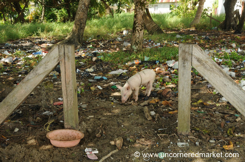 Pig Tied Up at Trash Dump - Livingston, Guatemala