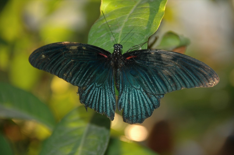 Butterfly Spreading Wings - Siem Reap, Cambodia