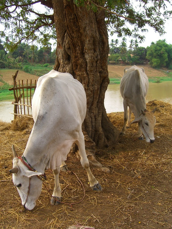 Cows Grazing Near the River - Battambang, Cambodia