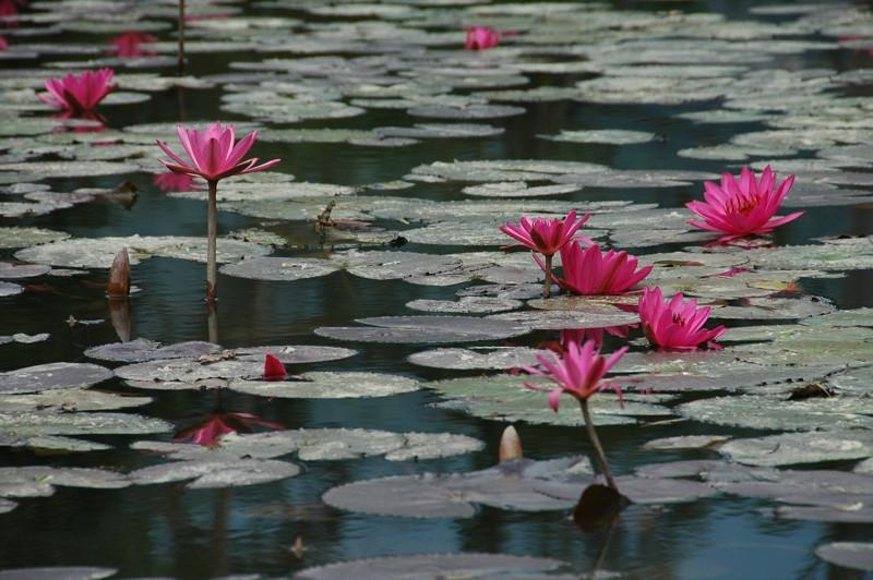 Water Lilies - Nong Khiaw, Laos