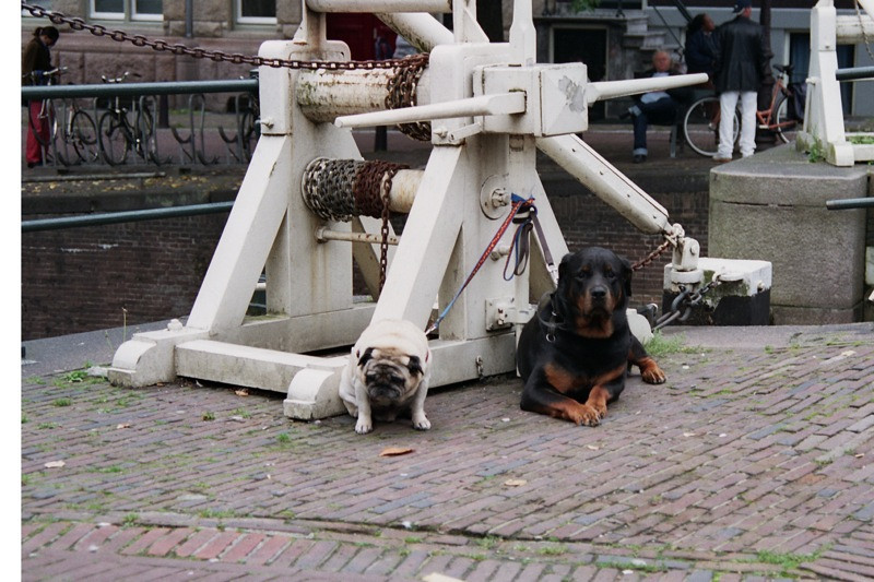 Pug and Rottweiler Dogs - Amsterdam, Netherlands