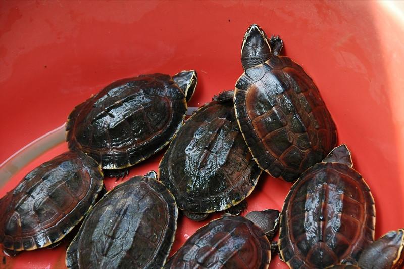 Turtles - Battambang, Cambodia