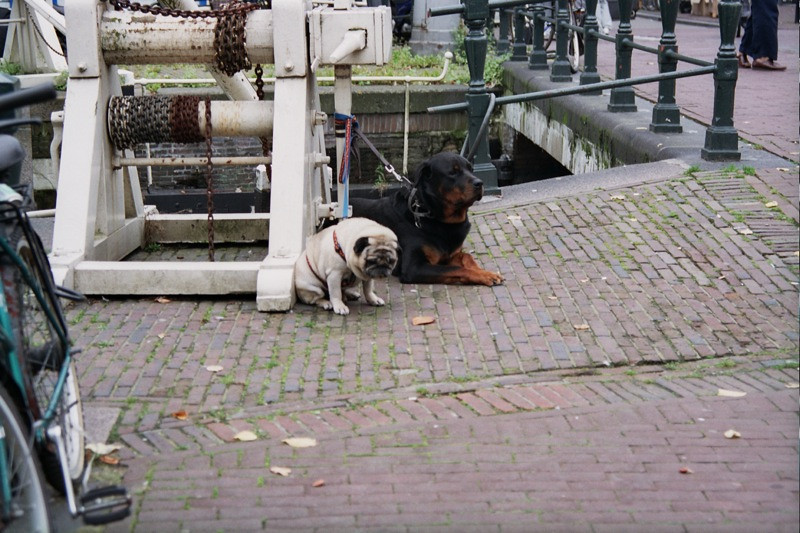 Pug and Rotty Pals - Amsterdam, Netherlands