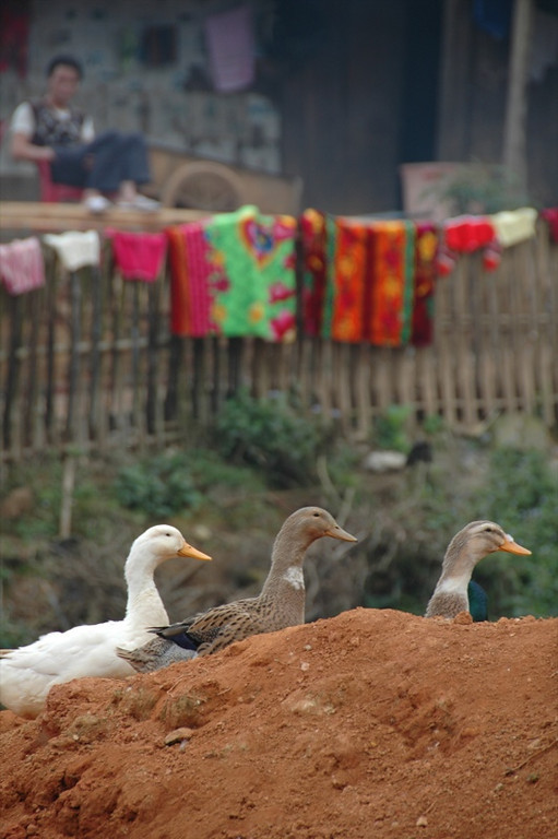 Three Ducks - Sapa, Vietnam