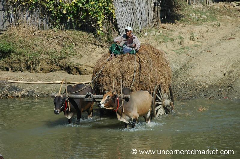 Oxen Carrying Heavy Load - Toungoo, Burma