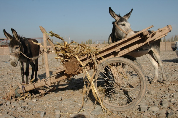 Kashgar Animal Market: Donkeys - China